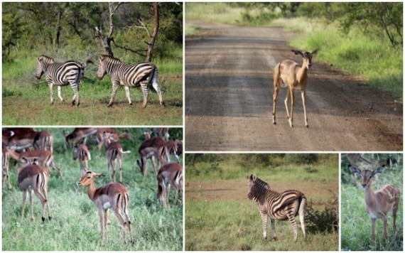Zebra and Impala - Kruger National Park