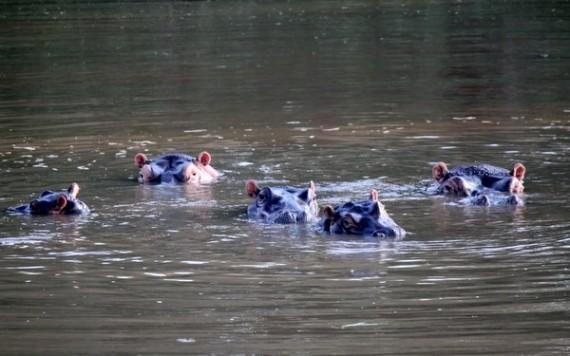 Hippopotamus - Kruger National Park