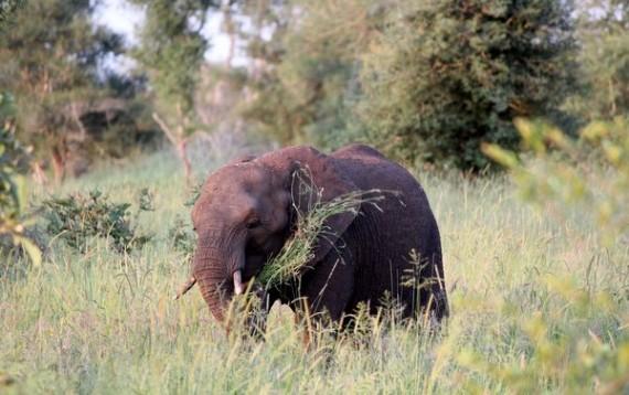 African Elephants - Kruger National Park