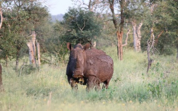 White Rhino - Kruger National Park