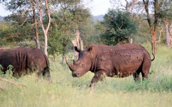 White Rhino - Kruger National Park