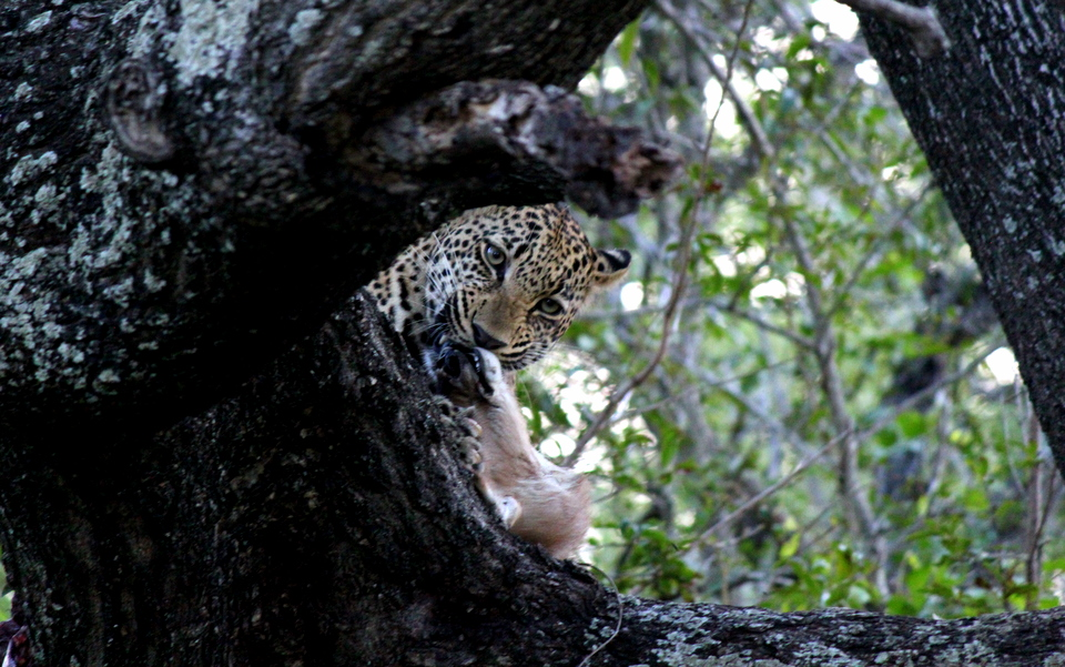 Leopard Eats Baby Waterbuck in Kruger National Park