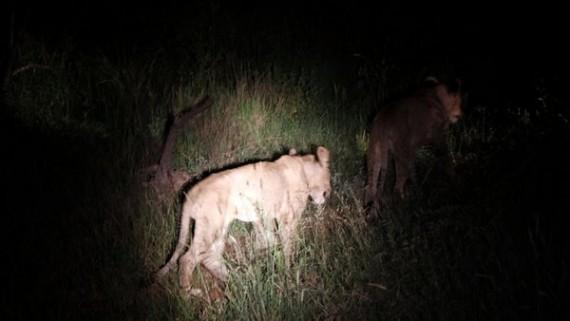 Lions - Kruger National Park