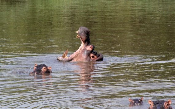 Hippos - Kruger National Park