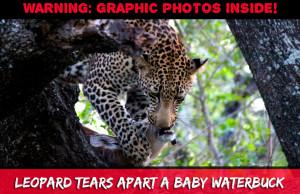 Leopard Eats Baby Waterbuck