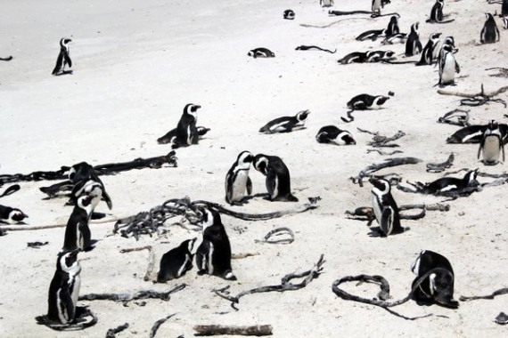 African Penguins - Boulder's Beach