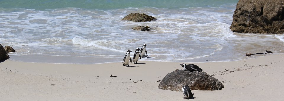 South African Penguins on Boulders Beach