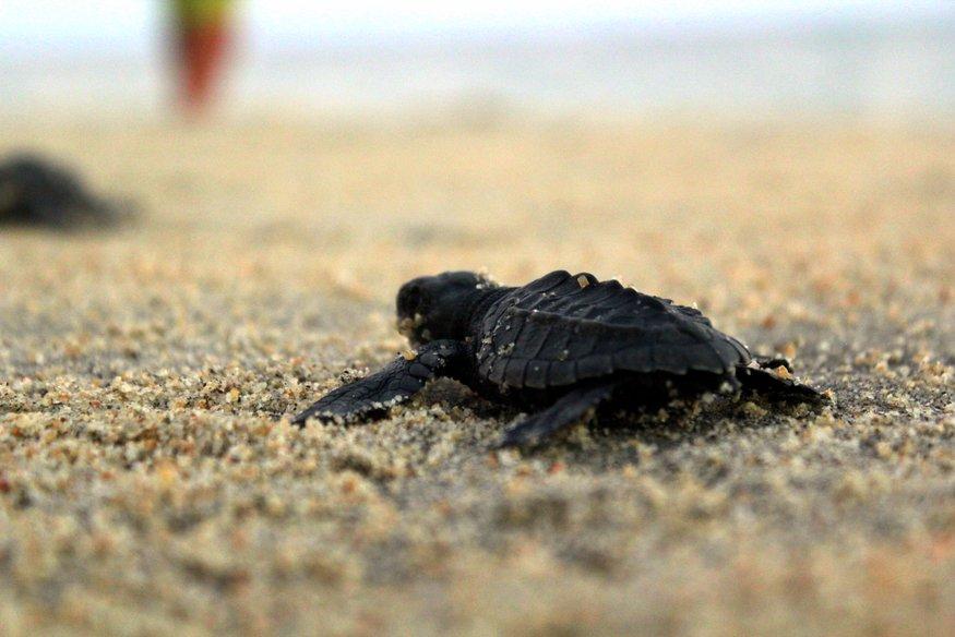 Baby Sea Turtles - Los Cabos, Mexico