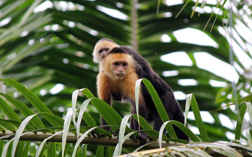 Capuchin Monkey with baby