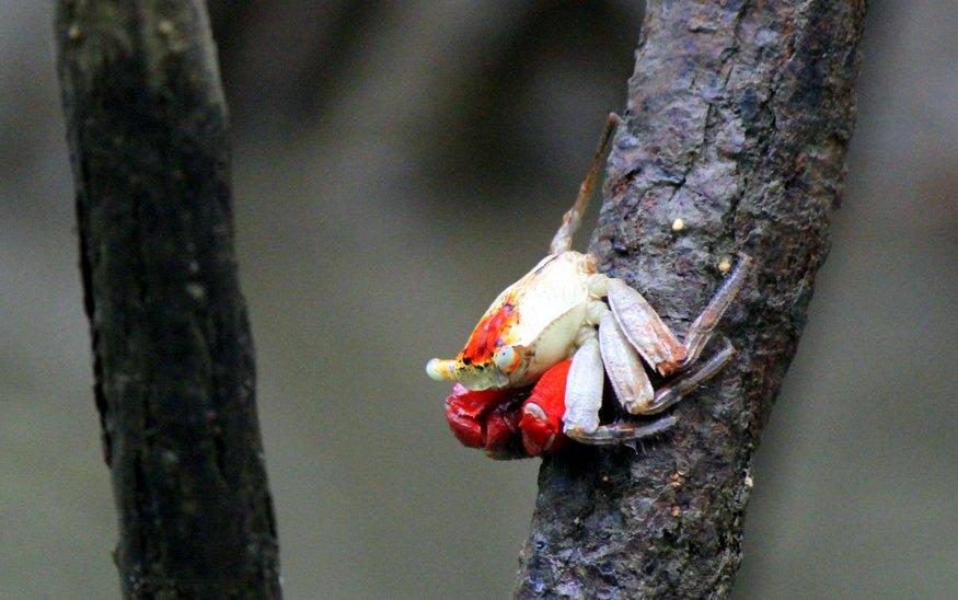 Tiger Face Crab