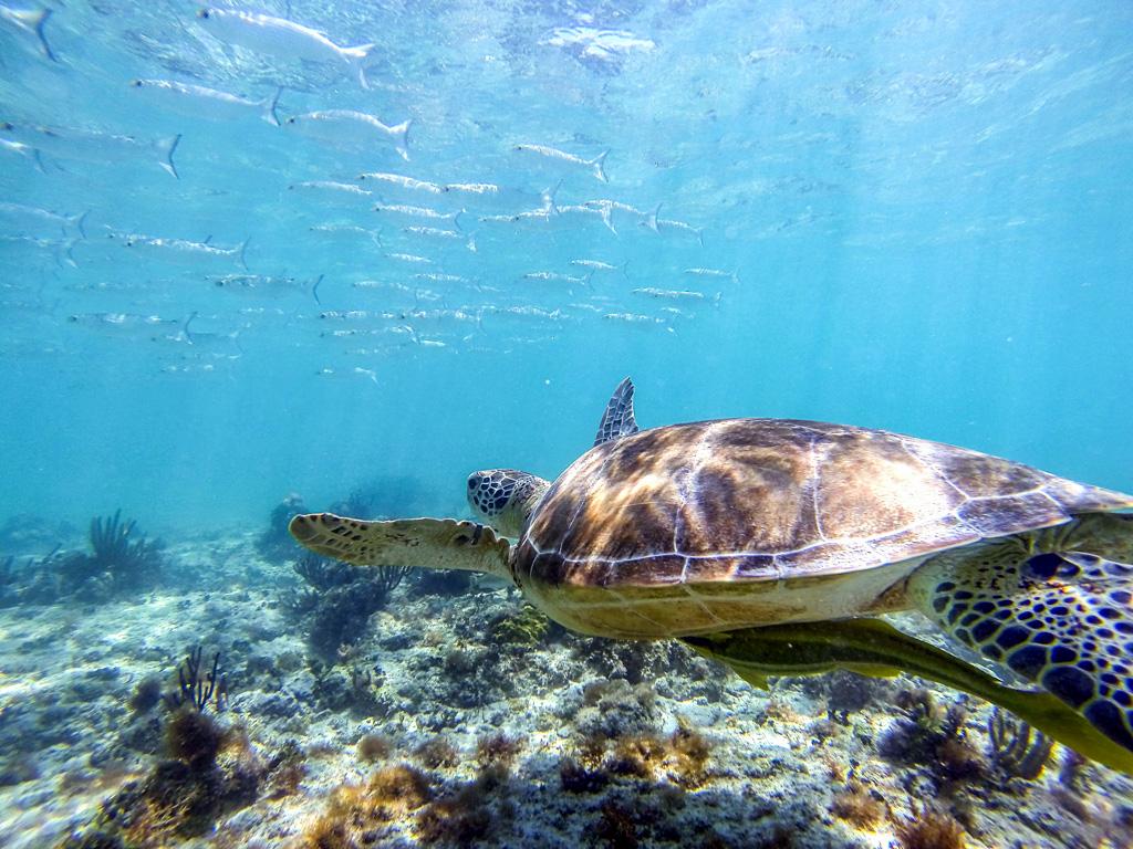 Akumal Sea Turtles