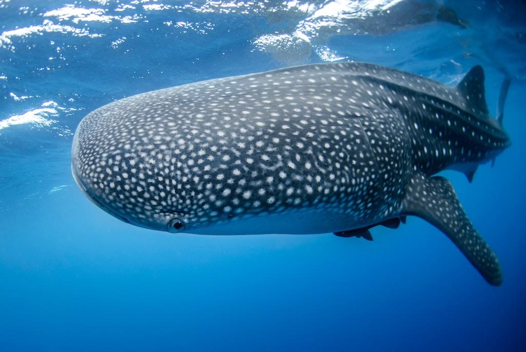 Whale Sharks Isla Holbox